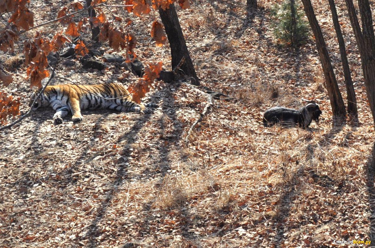 как живет козел с тигром