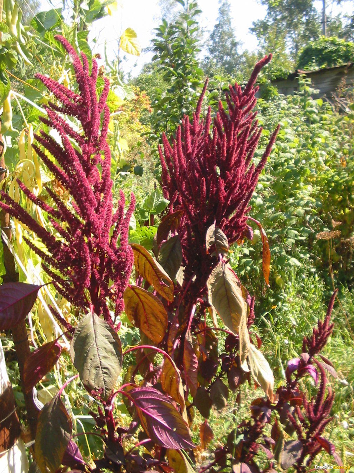Комнатные цветы фото амарант