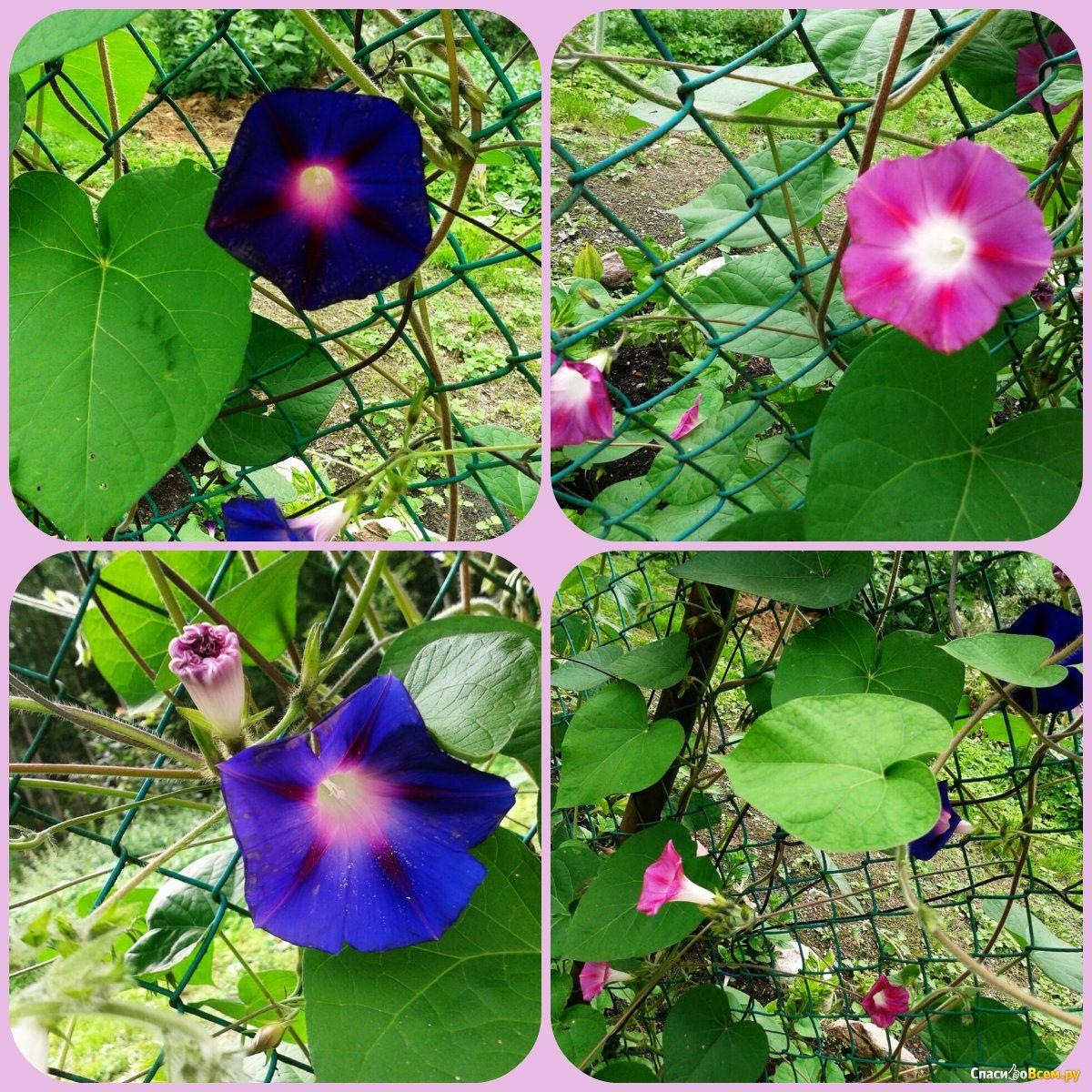Как выглядит цветок вьюн фото