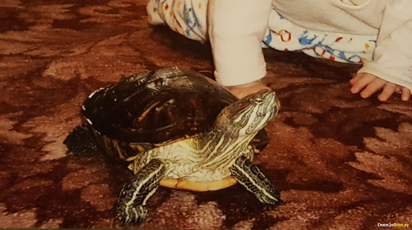 Красноухая черепаха 88