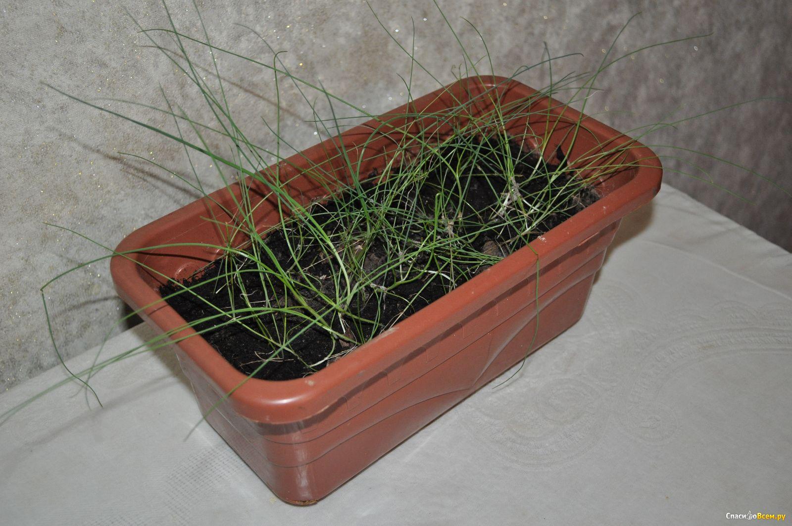 Лук-порей: выращивание от посева до уборки 72